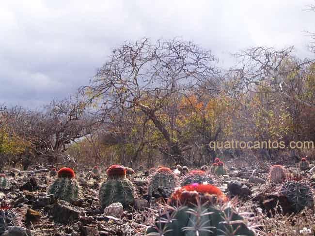 Coroas de frade na caatinga